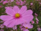 秋桜:絞り